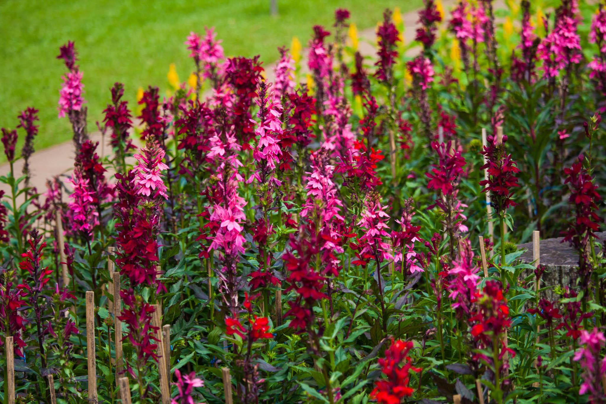 mae fah luang blooms